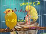 طرح-توجیهی-پرورش-پرندگان-زینتی-(قناری)-با-ظرفیت-200-جفت-سال-97