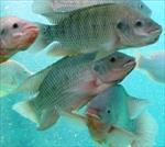 طرح-توجیهی-پرورش-ماهی-تیلاپیا