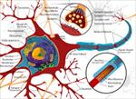 پاورپوینت-آشنایی-با-شبکه-های-عصبی-زیستی