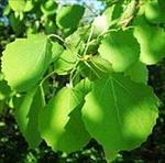 گزاش-کارآموزی-در-کلینیک-گیاهپزشکی؛-آفات-و-بیماریهای-درخت-صنوبر